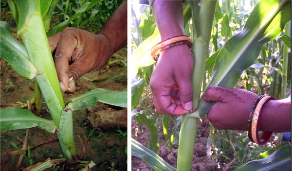 Banded Leaf and Sheath Bight (BLSB) of Maize, Its Introduction, Losses and Management