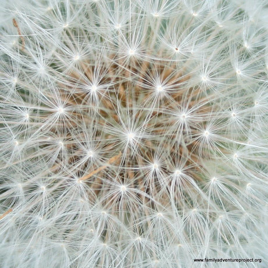 Dandelion – An Alternate to Natural Rubber