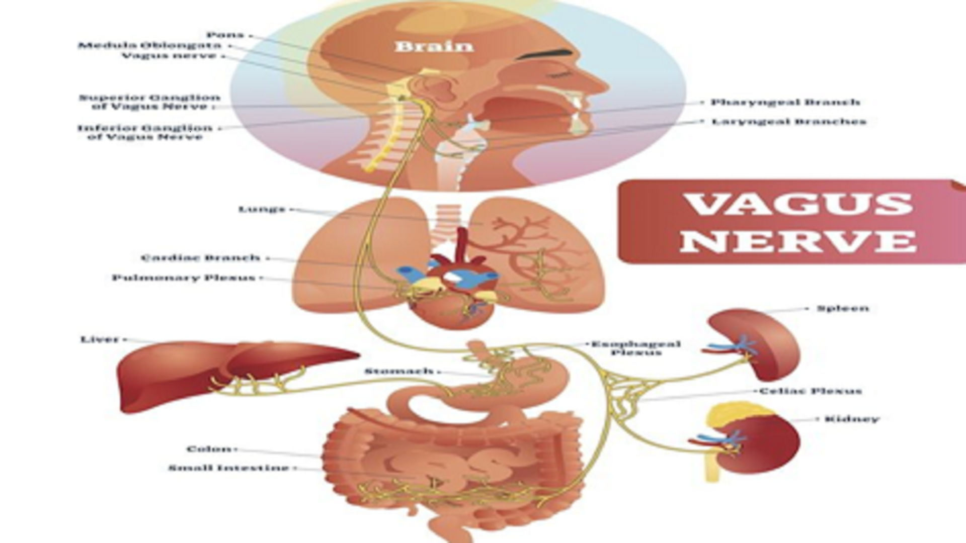 Everything is in the Vagus Nerve, What is the Relationship between Chronic Fatigue Syndrome (CFS) and Coronavirus