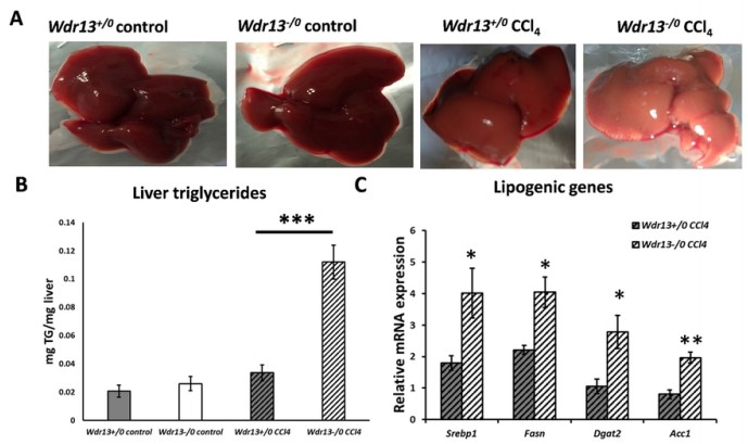 Impaired Liver Regeneration and Lipid Homeostasis in Ccl4 Treated WDR13 Deficient Mice