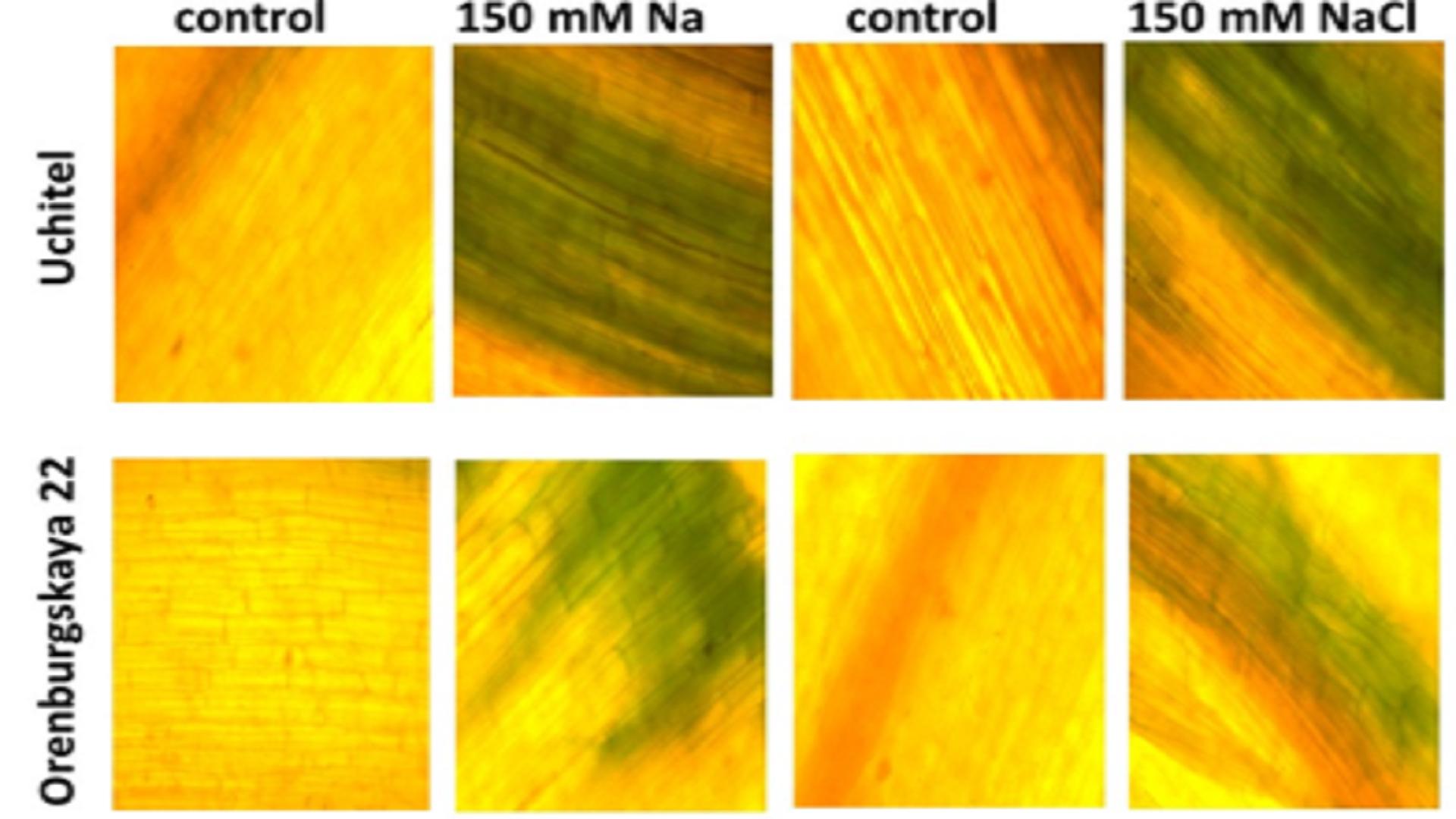 Salt Tolerance of Wheat (Triticum Aestivum) Varieties Grown Under Laboratory and Field Conditions